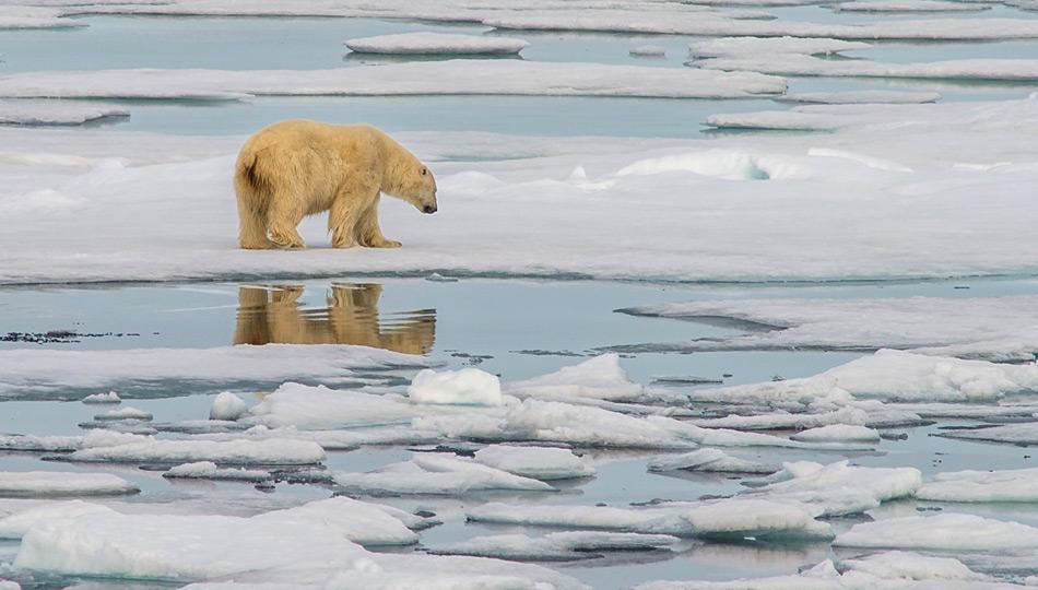 Eisbär im Packeis nörd-östlich von Spitzbergen. Foto: Katja Riedel