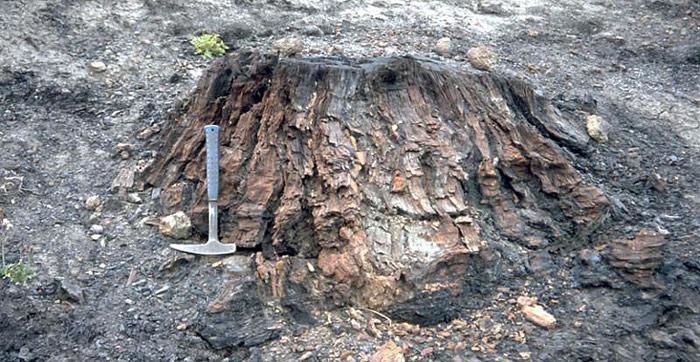 Versteinerter Baumstrunk