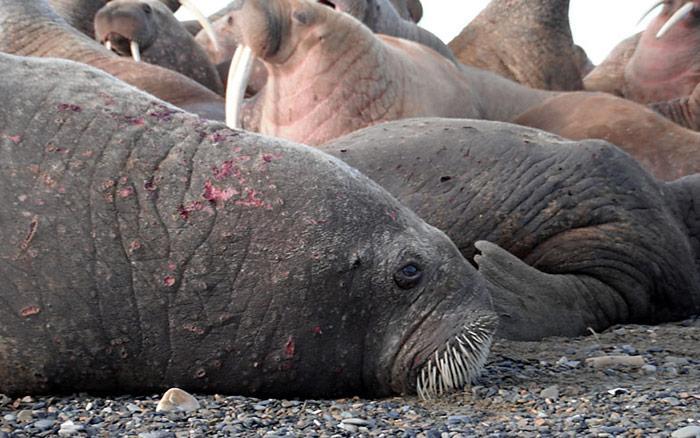 Erkranktes Walross welches mit Geschwüren auf ihrer Haut aufgefunden wurde.