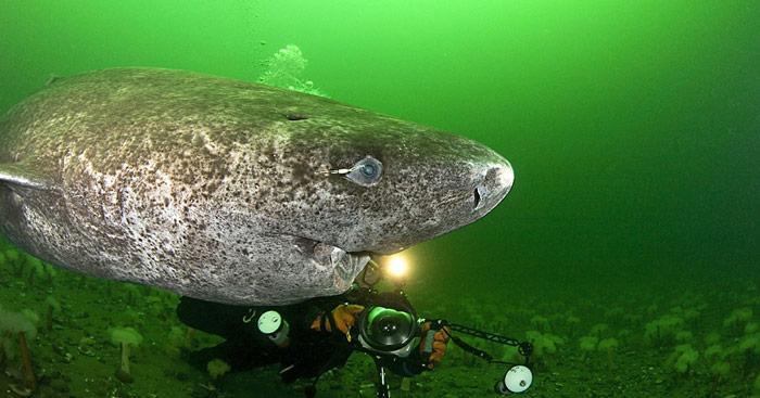 Auf den Augen der Grönlandhaie sitzen oftmals biolumineszente Ruderfusskrebse. Es ist nicht bekannt, ob sie dem Hai schaden oder nützen.