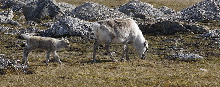 Genügend Nahrung ist Grund der Zunahme der Rentierbestände auf Spitzbergen.