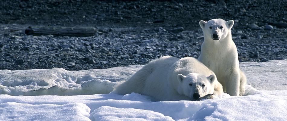 Die Eisbären blicken in eine düstere Zukunft.