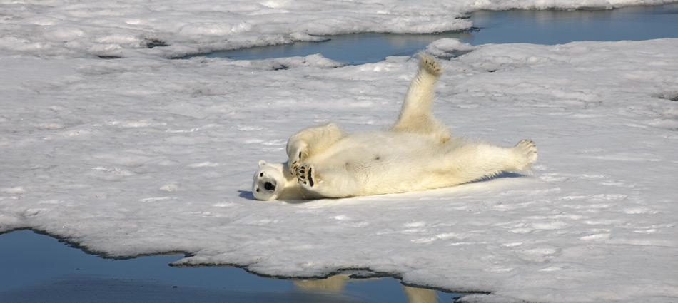 Die Eisbären haben schon mehrere Warmzeiten überstanden, ob sie die nächste schadlos überstehen ist eher ungewiss.