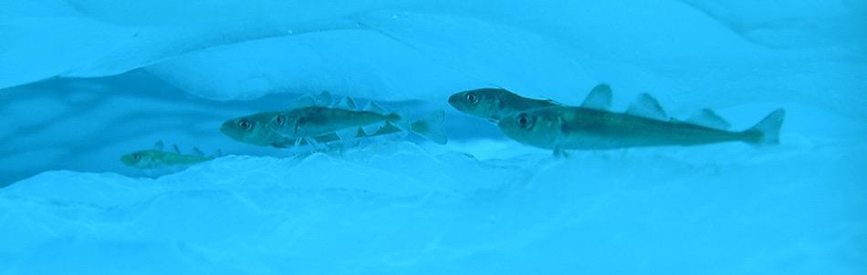 Die ein- bis zweijährigen Polardorsche sind mit einer Länge von 6-17 cm zum grossen Teil an das Meereis gebunden. Sie leben in Höhlungen und Spalten des Meereises und zwischen Eisschollen.