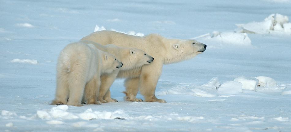 Junge Eisbären werden 1½ bis 2½ Jahre gesäugt. Während dieser Zeit lernen sie das Jagdverhalten der Mutter und werden schliesslich von ihr verlassen. Foto: Norbert Rosing