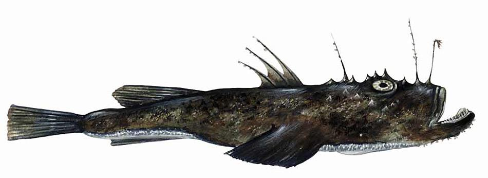 Seeteufel leben hauptsächlich auf dem Meeresgrund in Tiefen von 10 bis 1000 Metern. Sie ernähren sich vor allem von Fischen, die mit dem Angel auf ihrem Rücken angelockt werden und durch plötzliches Aufreissen des riesigen Mauls eingesaugt werden.
