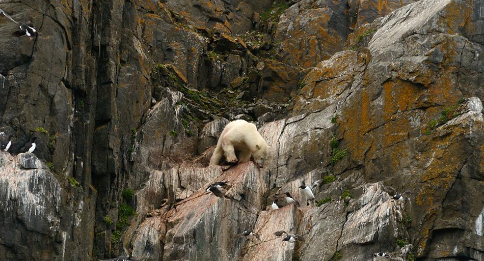 Fehlendes Eis und demzufolge der ausbleibende Jagderfolg treibt diesen Eisbären in die Felswand beim Akefjelet in der Hinlopenstrasse auf Spitzbergen. Ein Absturz bedeutet für den Eisbären den sicheren Tod. Foto: Michael Wenger, PolarNEWS