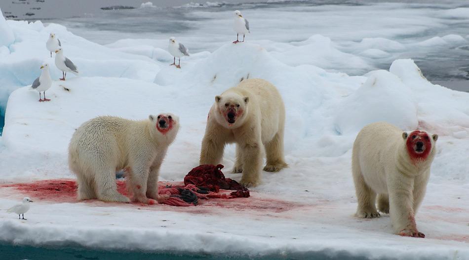 Die Hauptnahrung der Eisbären besteht aus Robben, welche sie auf dem Eis erbeuten. Foto: Michael Wenger, PolarNEWS