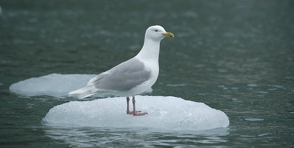 Die Eismöwe ist ein grosser Vogel aus der Familie der Möwen, der die Küsten der subpolaren Zone und der Polargebiete der Arktis bewohnt.