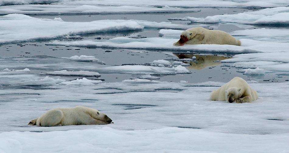 Eisbären müssen sich auf dem Eis hinlegen, um sich abzukühlen. Ansonsten droht ihnen bei zu grosser Anstrengung eine Überhitzung.