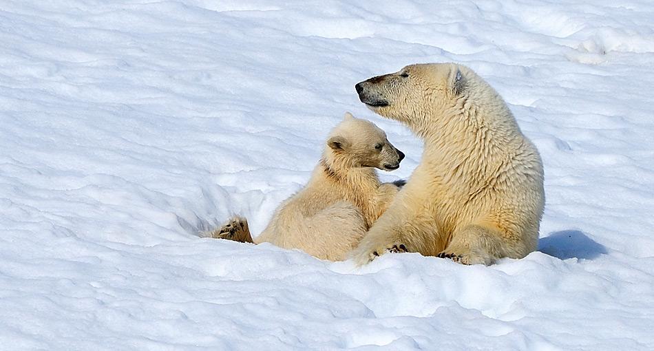 Eisbärenweibchen legen eine Winterruhe ein, um ihre Jungen zu gebären und gross zu ziehen.