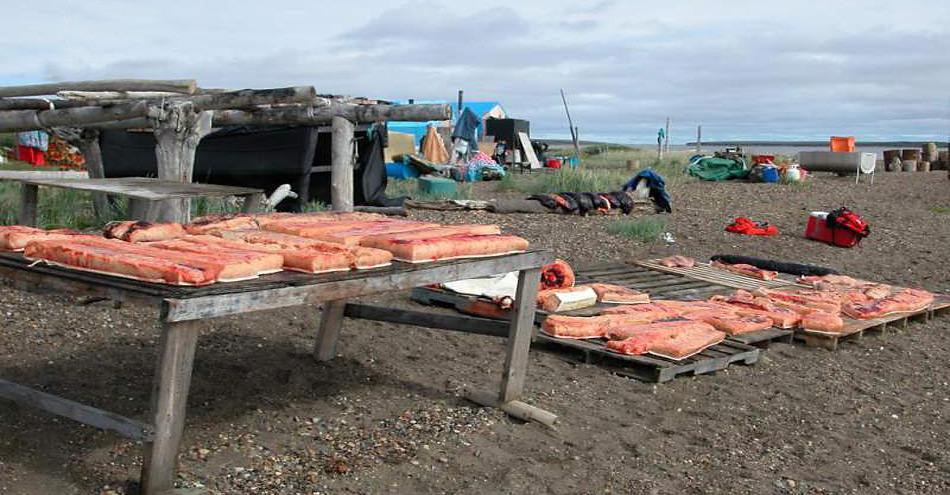 Belugas werden schon seit Jahrhunderten von Inuit als Teil der Ernährung genutzt. Früher noch roh, wird das Fleisch heute gekocht. Doch trotzdem bietet diese Ernährungsweise grosse gesundheitliche Risiken. © Stephen Raverty