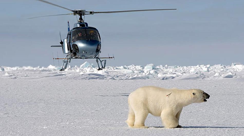 Nach der Sichtung eines Eisbären wir dieser vom Helikopter aus mit dem Gewehr betäubt.