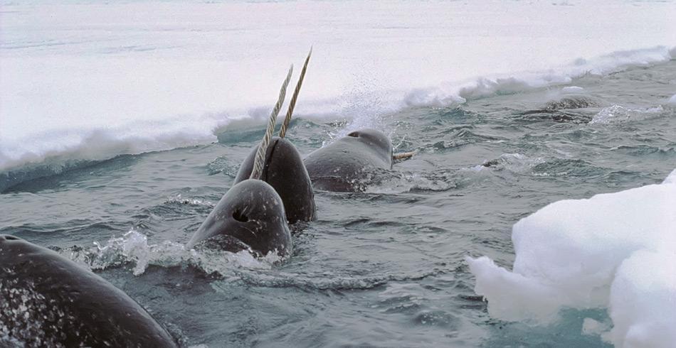 Narwale sind ausschliesslich in nordpolaren Gewässern heimisch.