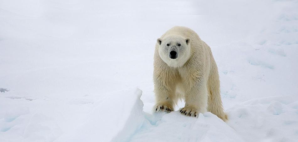 Eisbären sind zur Futtersuche ständig unterwegs. Meist wandern sie über Eis, sind aber auch hervorragende Schwimmer und können ohne weiteres 100 Kilometer und mehr im Wasser zurücklegen.