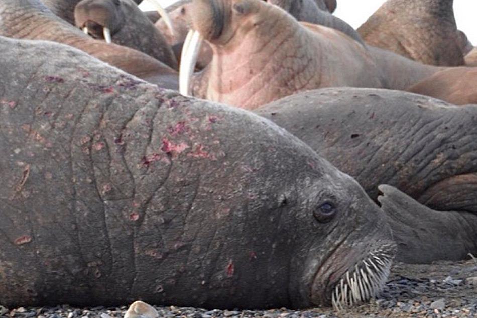 Gute Neuigkeiten für Walrosse. Die rätselhafte Krankheit scheint vorbei zu sein.
