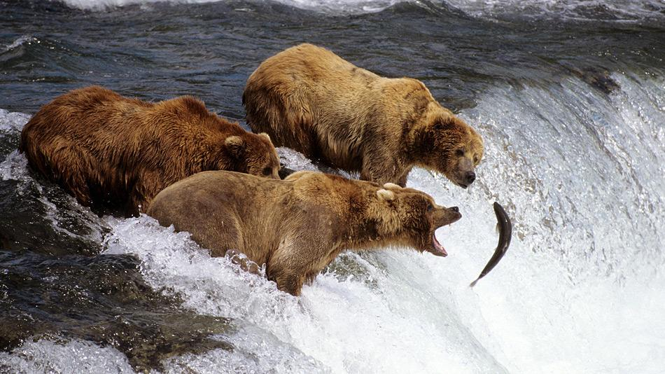 Eine andere Jagdtechnik wenden die Braunbären an, sich im Bach hinstellen und warten bis der Fisch ins Maul fliegt.