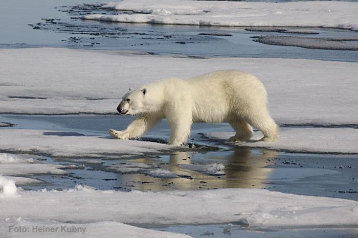 Eisbaer-auf-Eisscholle