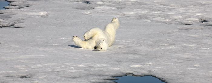 Noch hat der Eisbär Ruhe in der Tschuktsche See, die Frage ist nur wie lange noch.
