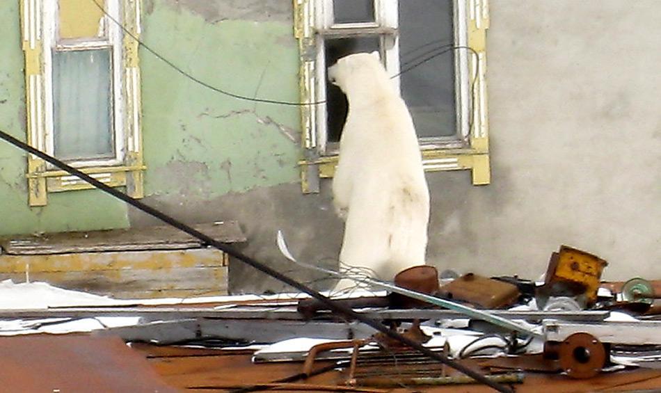 Wenn hungrige Eisbären mal Witterung aufgenommen haben sind sie nicht mehr zu bremsen, wie hier in einer russischen Siedlung.