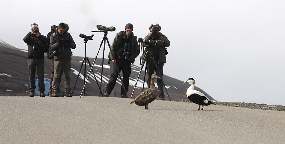 Die Eiderenten lassen sich selbst von den Fotografen nicht beim Überqueren der Strasse stören.