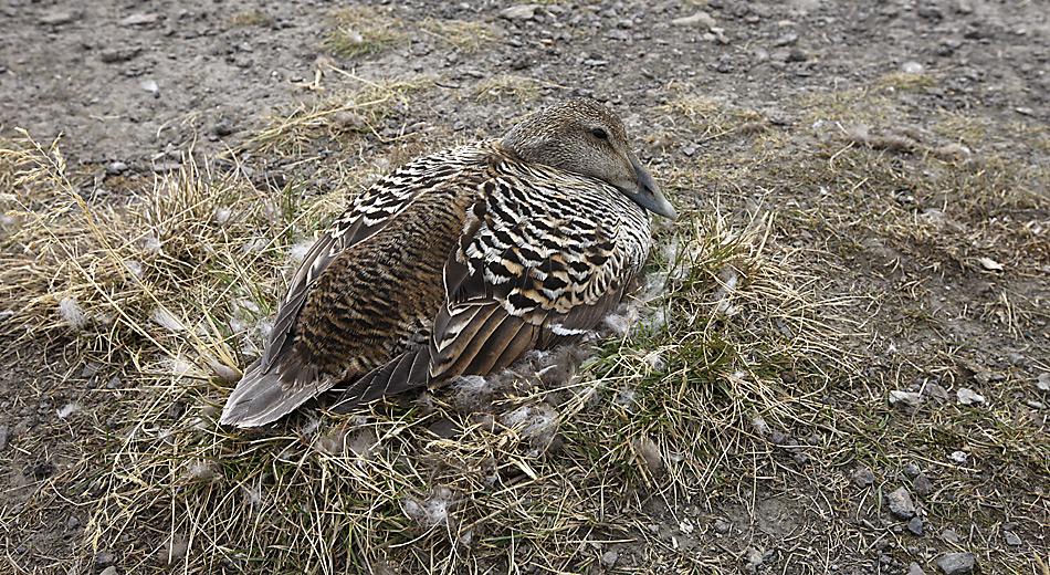 In der Kolonie bei Longyearbyen brühten zirka 200 Eiderenten. Die Eier werden während einer Dauer von 25 bis 26 Tagen ausschliesslich durch das Weibchen bebrütet, das während dieser Zeit fastet.