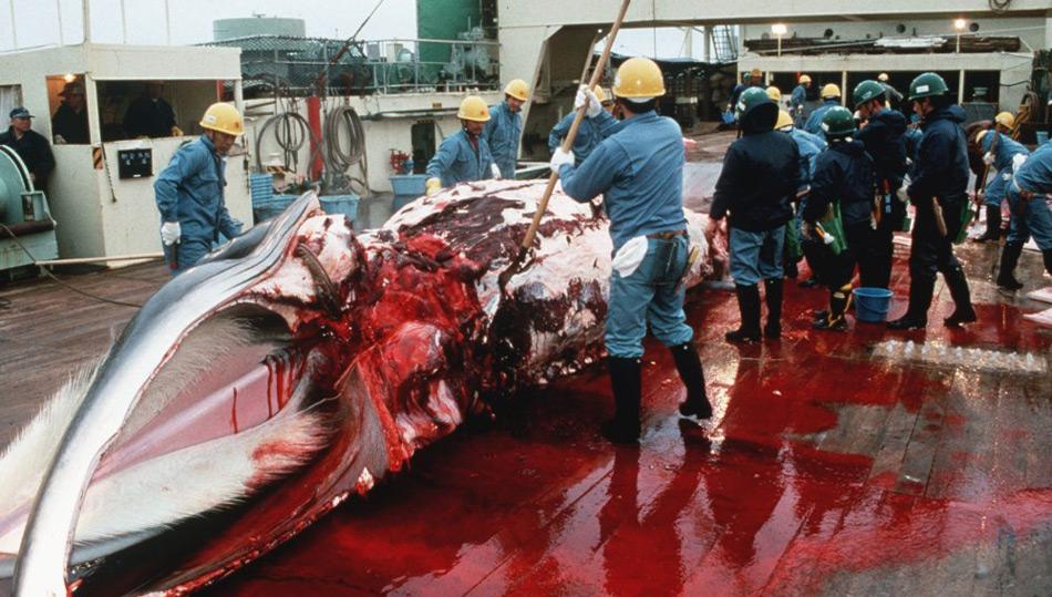 So sieht Forschung in Japan aus – blutig und nutzlos.