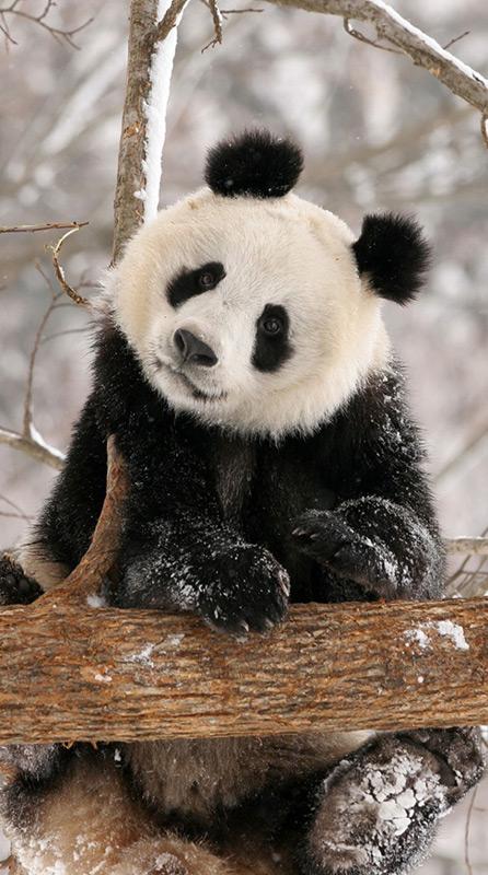 Pandas fühlen sich auch im Winter wohl und dürften mit dem Klima in Kopenhagen kein Problem haben.
