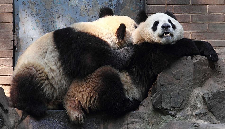 Pandabären sind kostbare Geschenke aus China. Und auch in Kopenhagen scheinen sie sich wohl zu fühlen.