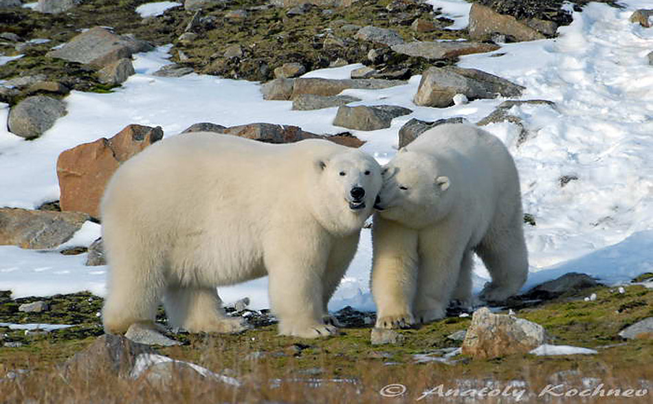 Wrangel Island liegt rund 150 Kilometer vor der russischen Küste in der Tschuktschensee. Menschen lebten bis 2003 auf der Insel, die schon 1976 zu einem Nationalpark erhoben wurde und im Jahr 2004 in die Liste der Weltnaturerbe aufgenommen wurde.