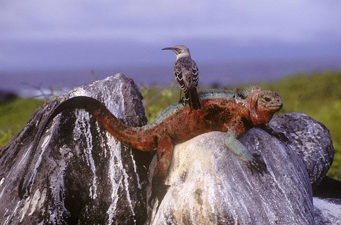 Galapagos-Drusenkopf