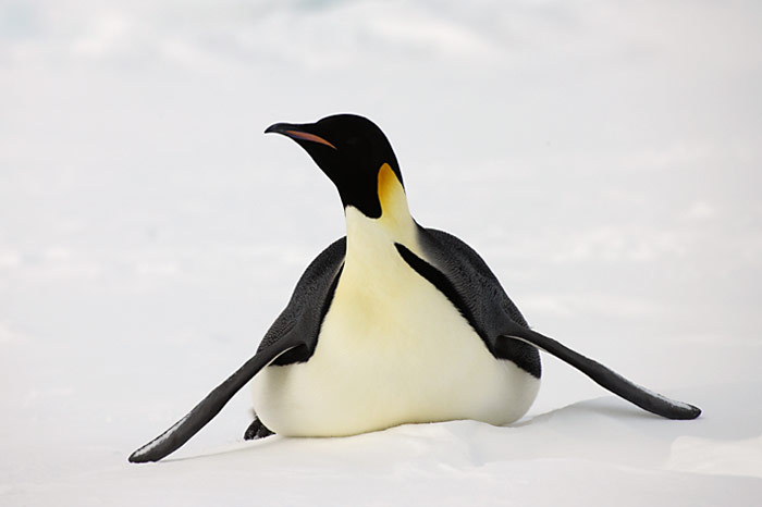 PolarNEWS_Kaiserpinguine_Snowhill_012