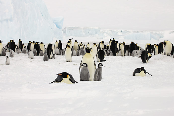 PolarNEWS_Kaiserpinguine_Snowhill_013