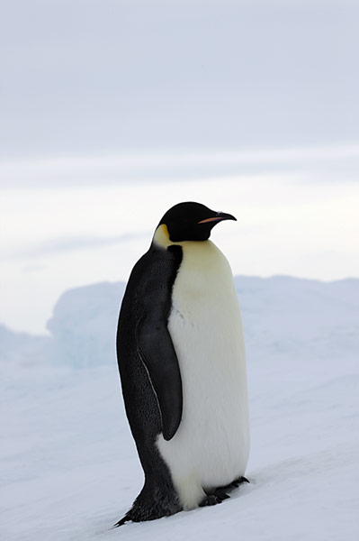 PolarNEWS_Kaiserpinguine_Snowhill_019