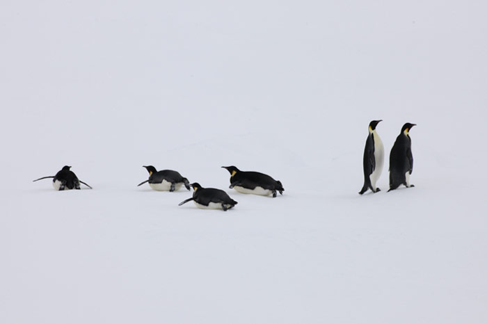 PolarNEWS_Kaiserpinguine_Snowhill_034