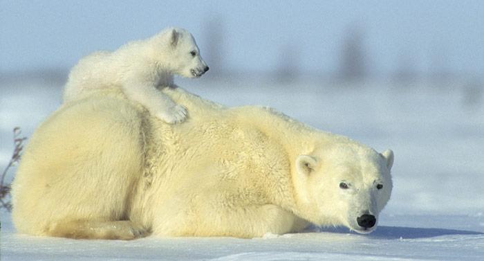 Rosing Eisbaer Mutter und Junges