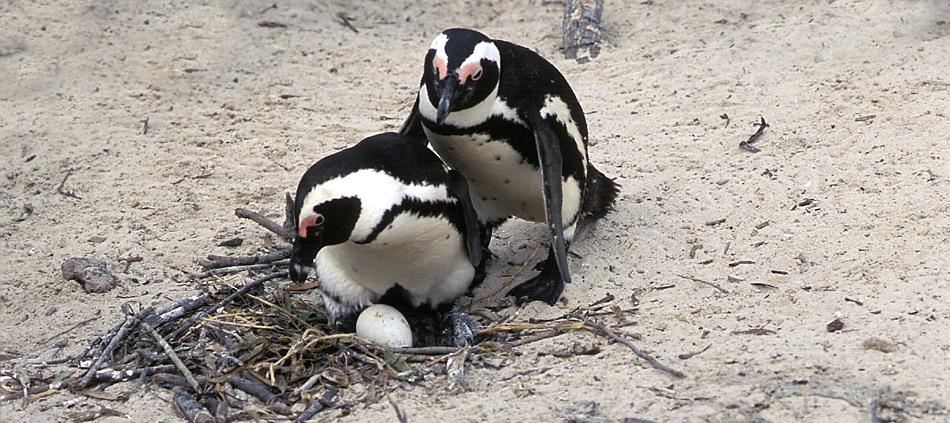 Die Brillenpinguine brüten in küstennahen Kolonien und legen ihre Eier in flache Vertiefungen, die sie ausscharren, oder sie legen ihre Eier in Höhlen, die sie mit Holzstücken und Federn auspolstern.