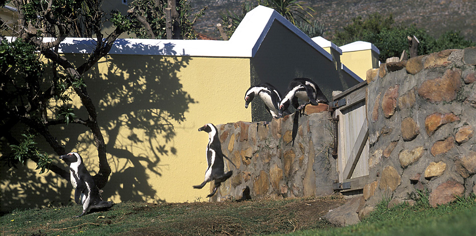 Auch vor fremden Gärten wird kein Halt gemacht. Gelegentlich überwinden die Pinguine Gartenmauern oder schwimmen zum Ärger ihrer Besitzer in den Pools der Villen.