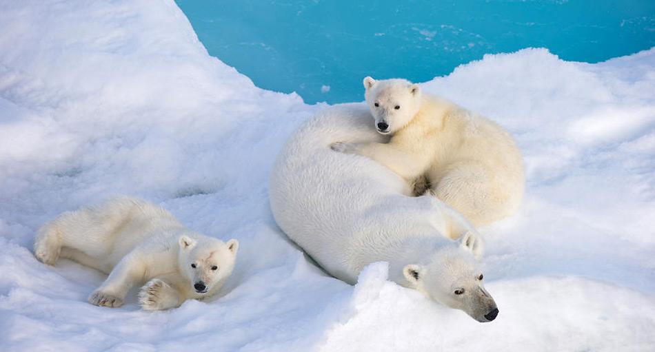 Im Bildband findet der Leser viele Bilder von Eisbären und deren Nachwuchs.